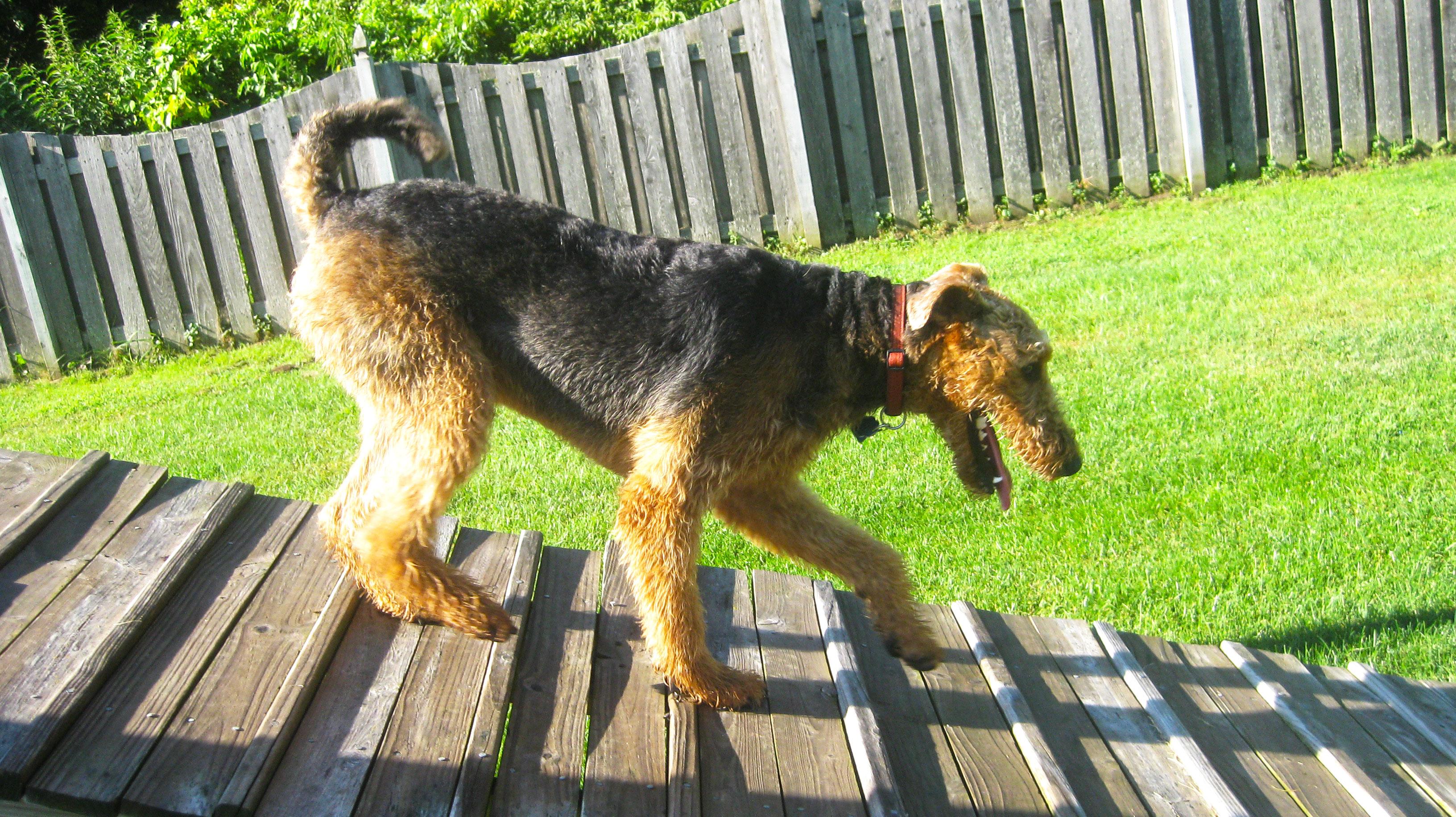 Dog walking down ramp