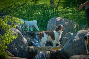 Keeping your canine cool in the pond at Dogwoods, Mount Horeb, WI